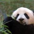 Βίντεο με μωράκι panda που δεν μπορεί να κοιμηθεί λόγω…λόξυγγα!